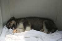 Hudson's Malamutes - Sparkle and Tooter - Hudson's puppy sleeping before being filmed