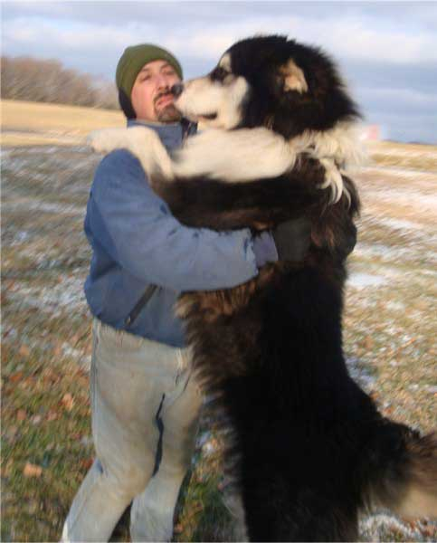 Giant Husky Dog For Sale