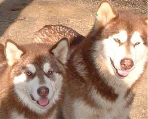 Hudsons Malamutes - Tana at 7 months with her mom Chyanne